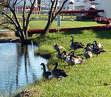 Mallard ducks feeding on the banks of the Mobile water reservoir.